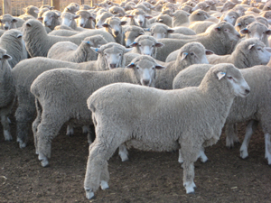Haven Park Pure Corrie Lambs Feb 08