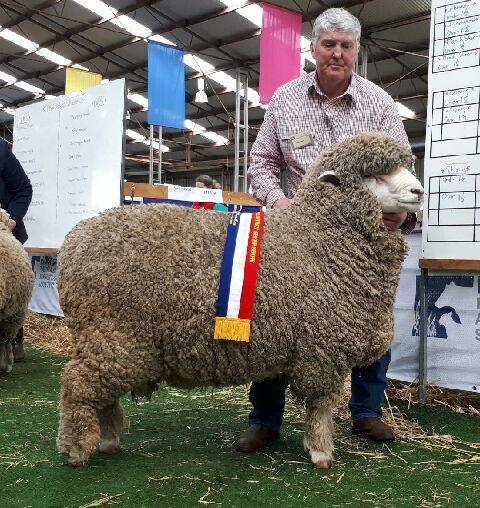INTERBREED_LONGWOOL_RAM_SHEEPVENTION_2018.JPEG