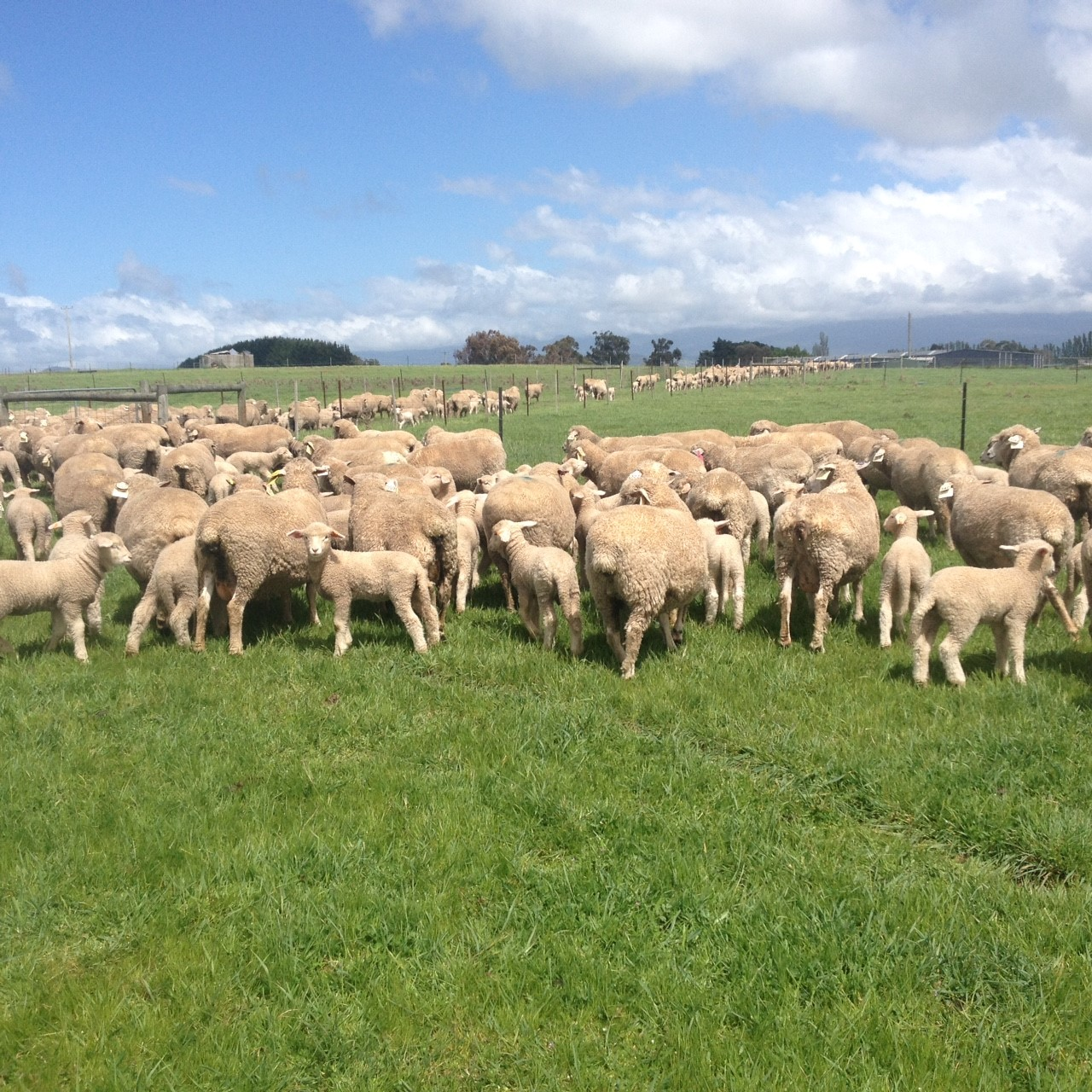 TRIAL_EWES_AND_LAMBS_OCT_2018.JPG